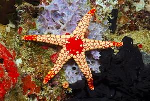 Red mesh starfish (Fromia monilis), Baa Atoll, Maldives, Indian Ocean, Asia