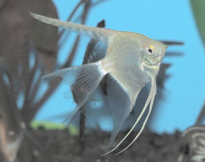Angelfish(Silver)WFCiam_Cn0937
