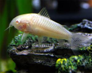 corycat_albino1