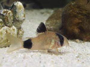 corydoras-panda1
