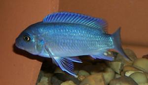 blue-cobalt-azul-3
