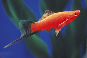 swordtail-assorted-xiphophorus-helleri