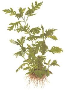 tropica-hygrophila-difformis
