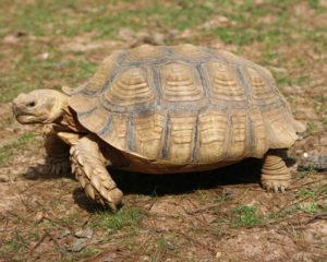 sulcata-tortoise3